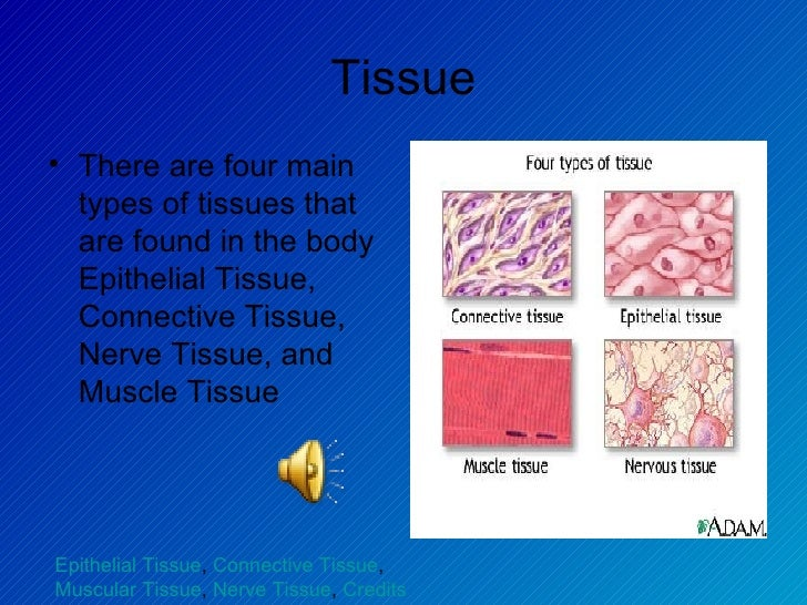 four main types of tissue Animal cells and tissues nervous tissue is composed of two main cell types: be able to list the major functions of each of the four major animal tissue types.