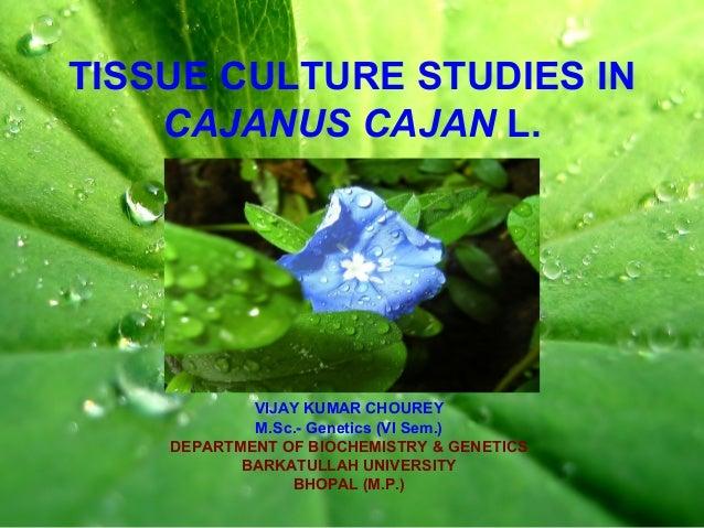 TISSUE CULTURE STUDIES IN CAJANUS CAJAN L. VIJAY KUMAR CHOUREY M.Sc.- Genetics (VI Sem.) DEPARTMENT OF BIOCHEMISTRY & GENE...