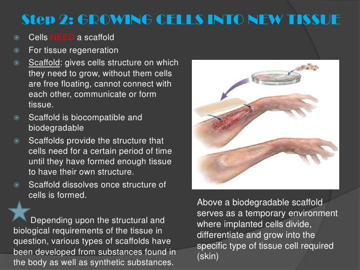 Step 2: GROWING CELLS INTO NEW TISSUE   Cells NEED a scaffold   For tissue regeneration   Scaffold: gives cells structu...