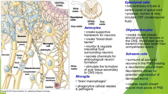 Tissue engineering of nervous system