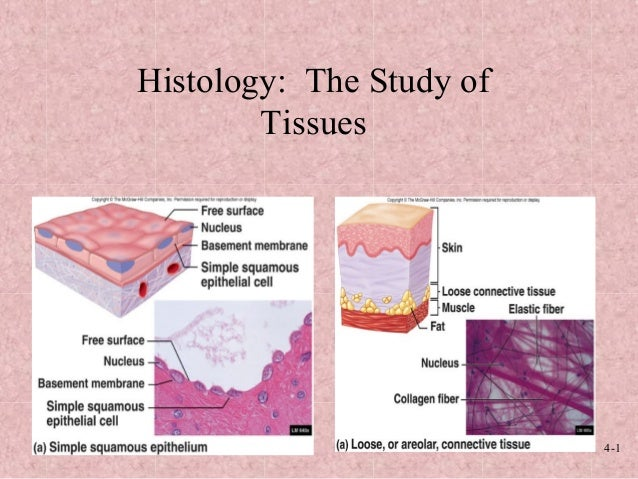 4-1 Histology: The Study of Tissues