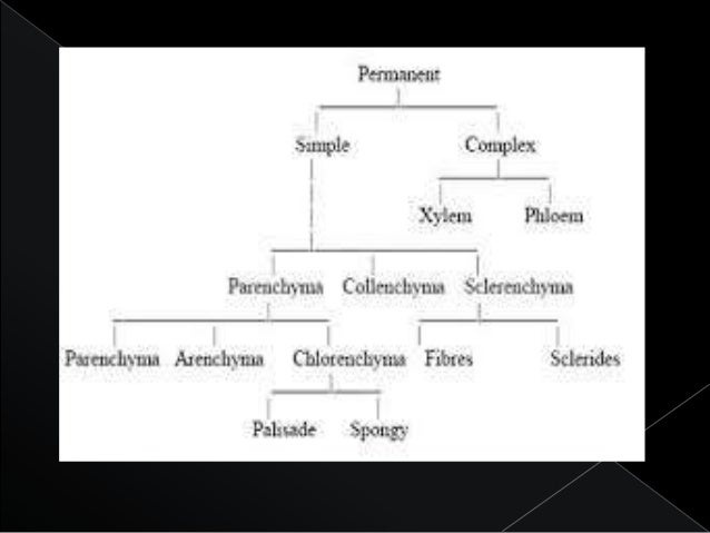  The common types of complex permanent tissue are:  Xylem or wood  Phloem or bast.