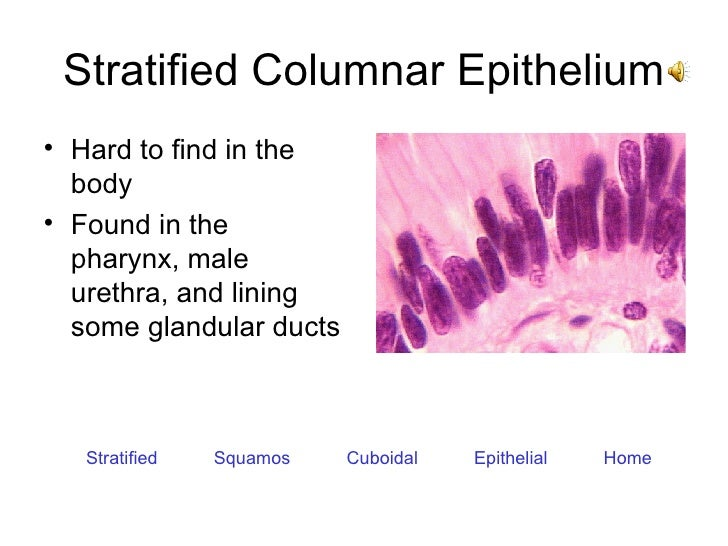 Stratified Columnar Epithelium <ul><li>Hard to find in the body </li></ul><ul><li>Found in the pharynx, male urethra, and ...