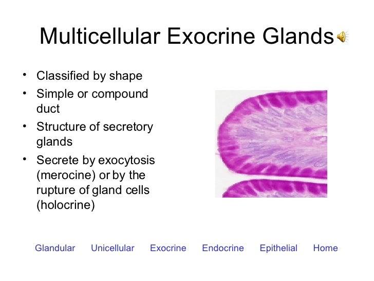 Multicellular Exocrine Glands <ul><li>Classified by shape </li></ul><ul><li>Simple or compound duct </li></ul><ul><li>Stru...
