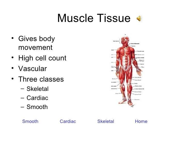 Muscle Tissue <ul><li>Gives body movement </li></ul><ul><li>High cell count </li></ul><ul><li>Vascular </li></ul><ul><li>T...