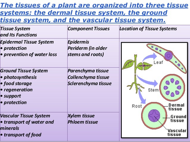 meristematic tissue types Meristematic tissues  transitional meristem primary growth protoderm gives rise to epidermis ground meristem gives rise to ground tissue  plant tissues-ppt.