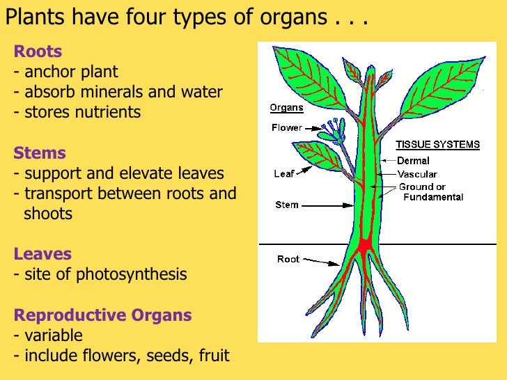 what is the main organ in the root system