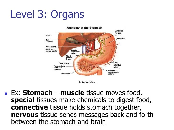 Organs Of The Digestive System Function Together To Digest Food