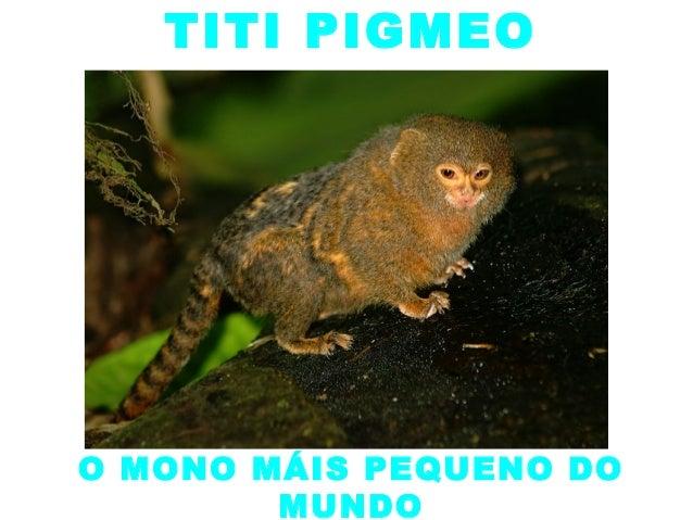TITI PIGMEOO MONO MÁIS PEQUENO DO        MUNDO
