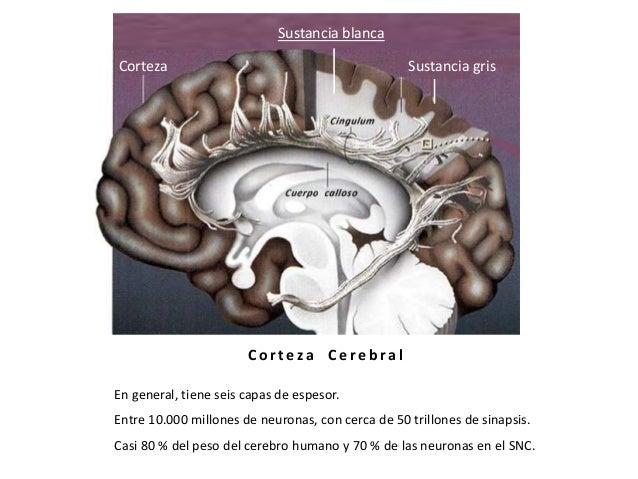 Tálamo y corteza cerebral. Slide 3