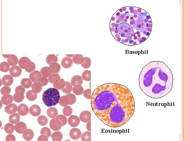 Types of WBC's  Agranulocytes—do not have granules in their cytoplasm  Lymphocytes(20 to 40%)  Monocytes( 2 to 10%)