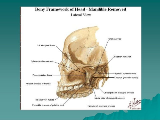 anatomy of tmj, Human Body