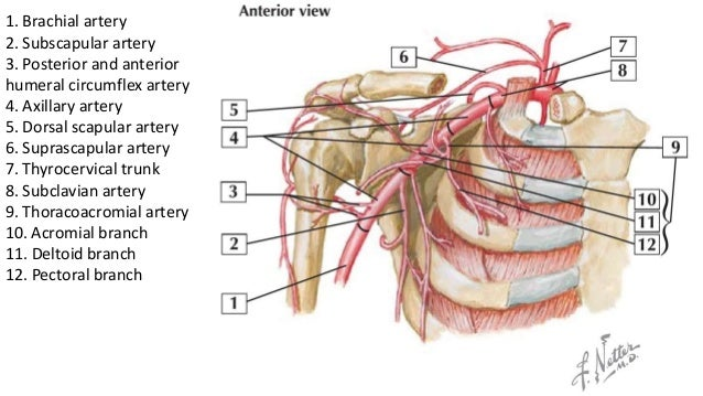 arterial supply to the shoulder and brachial plexus, Human Body