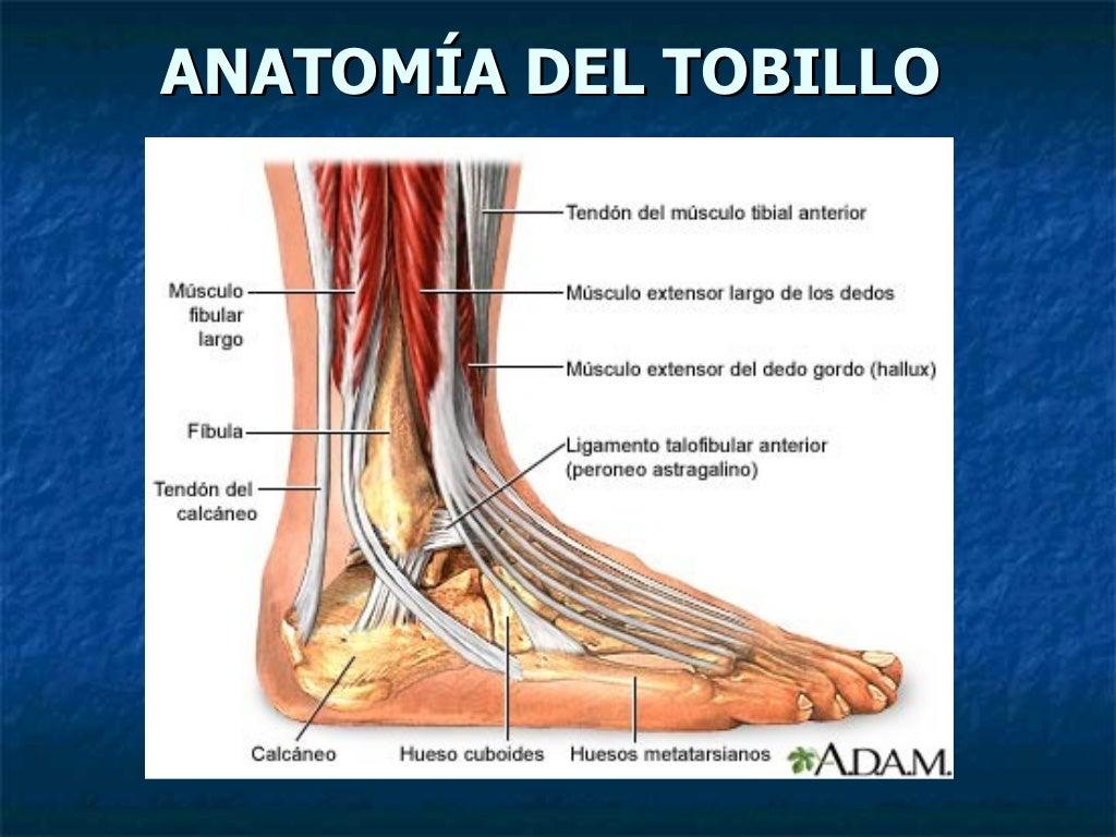 Excepcional Tobillo Diagrama De La Anatomía Del Tendón Imagen ...