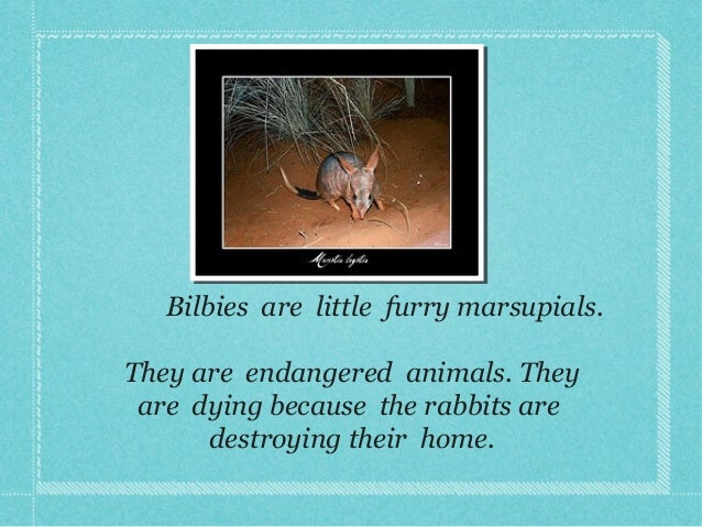 Bilbies are little furry marsupials. They are endangered animals. They are dying because the rabbits are destroying their ...