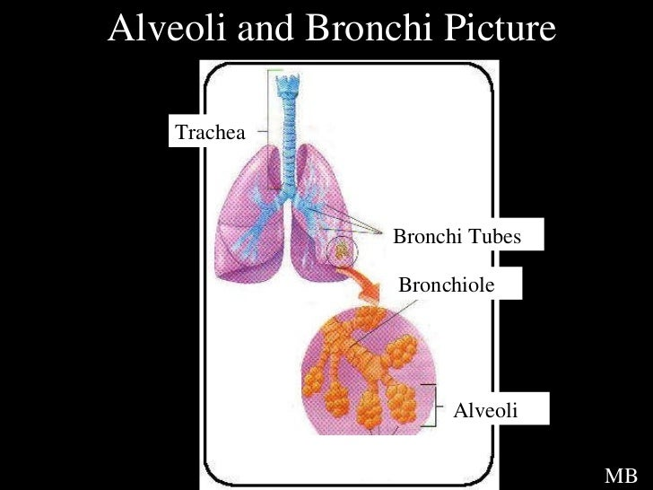 Heart and lungs mb 18 alveoli and bronchi picture trachea bronchi tubes ccuart Images