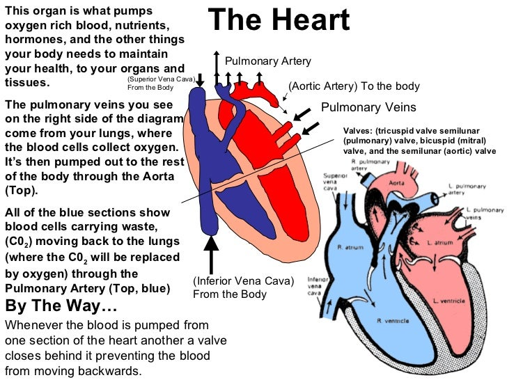 Heart and lungs 42 the heart ccuart Images