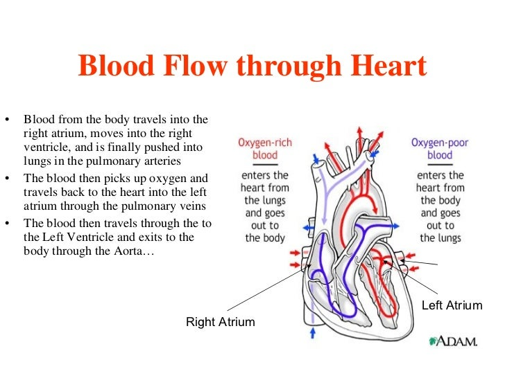 Cycas circinalis further Carica papaya furthermore Not0007627 i together with The Human Heart Chart Anatomy And Physiology Vr1334l 3b Scientific p 1097 2654 further Perilla frutescens var purpurascens. on circulatory system order