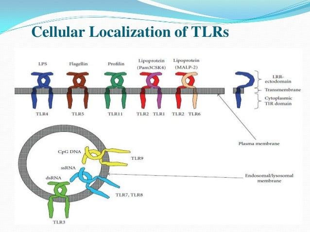 toll like receptors