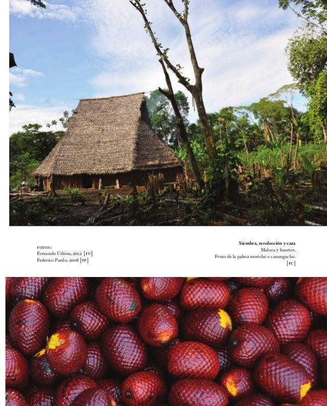 Siembra, recolección y caza Maloca y huertos. Fruto de la palma moriche o canangucho. [fu] fotos: Fernando Urbina, 2012 [f...