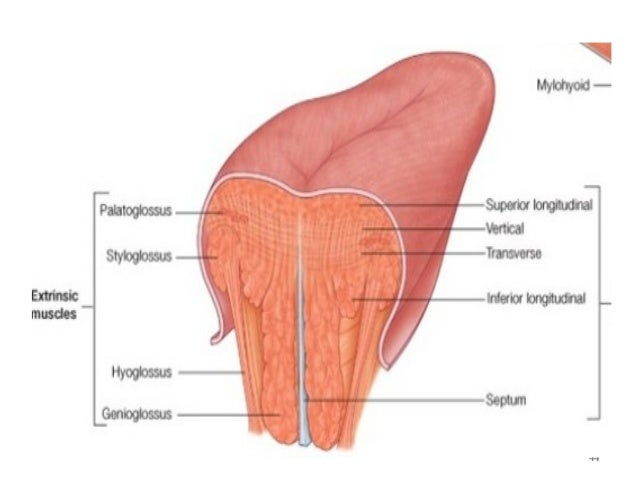 Tongue anatomy & diseases