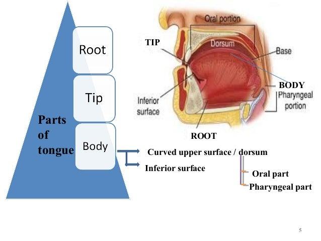 Base Of Tongue Anatomy Diagram House Wiring Diagram Symbols