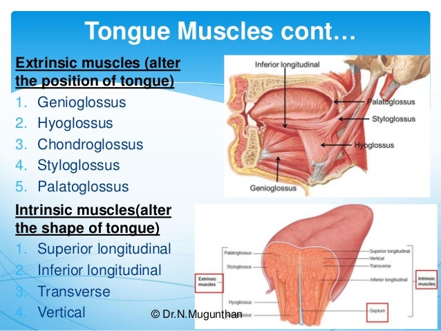 Tongue-Gross Anatomy & Applied Aspects. Dr.N.Mugunthan.M.S
