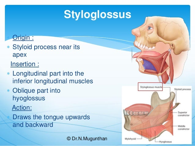 Gross anatomy of tongue