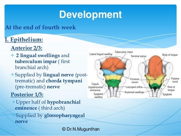 Tongue-Gross Anatomy & Applied Aspects. Dr.N.Mugunthan.M.S