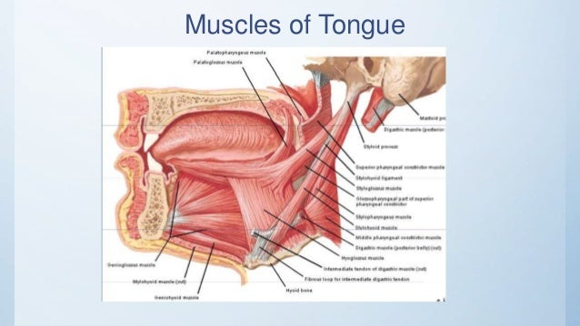 Tongue (Anatomy & Physiology)