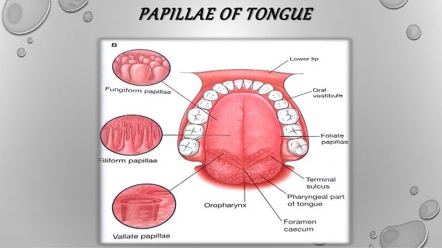 development & growth of tongue