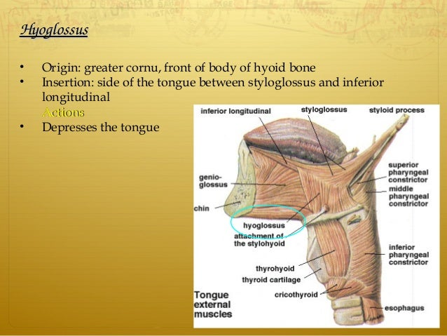 HyoglossusHyoglossus • Origin: greater cornu, front of body of hyoid bone • Insertion: side of the tongue between styloglo...