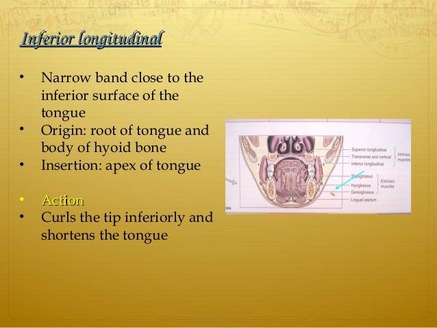 InferiorlongitudinalInferiorlongitudinal • Narrow band close to the inferior surface of the tongue • Origin: root of ton...