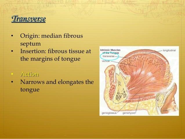 TransverseTransverse • Origin: median fibrous septum • Insertion: fibrous tissue at the margins of tongue • ActionAction •...