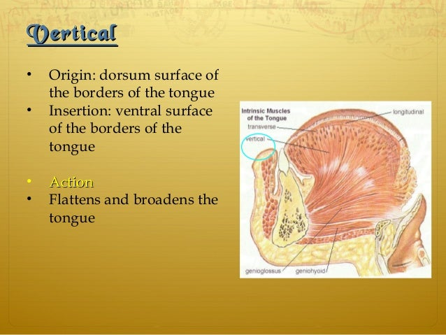 VerticalVertical • Origin: dorsum surface of the borders of the tongue • Insertion: ventral surface of the borders of the ...