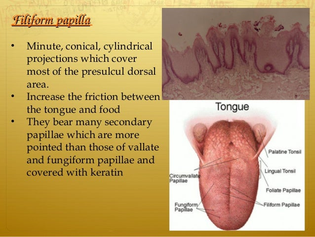 FiliformpapillaFiliformpapilla • Minute, conical, cylindrical projections which cover most of the presulcul dorsal area...