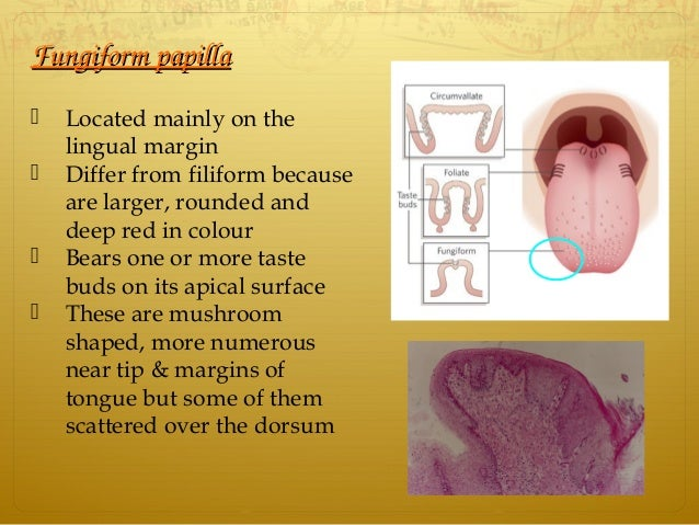 FungiformpapillaFungiformpapilla  Located mainly on the lingual margin  Differ from filiform because are larger, round...