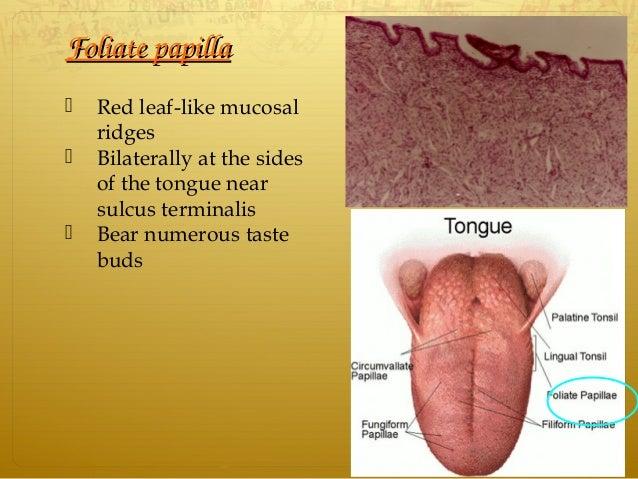 FoliatepapillaFoliatepapilla  Red leaf-like mucosal ridges  Bilaterally at the sides of the tongue near sulcus termina...