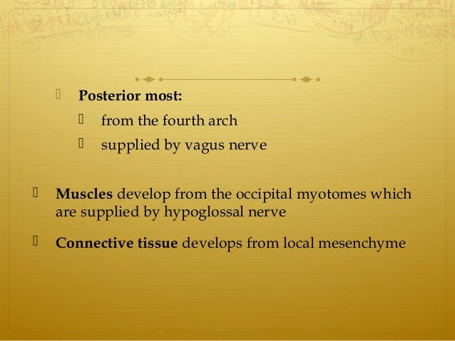  Posterior most:  from the fourth arch  supplied by vagus nerve  Muscles develop from the occipital myotomes which are...