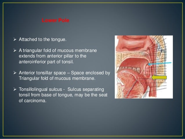 palatine tonsil, its anatomy, diseases and their management