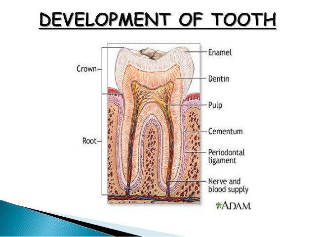 Tooth development ccuart Image collections