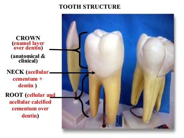 Tooth Development Med Gen Engl