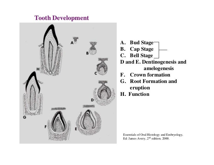 tooth development 12 developmental alterations number size shape structure developmental alterations number hypodontia lack of development of one or more teeth anodontia total lack of tooth development.