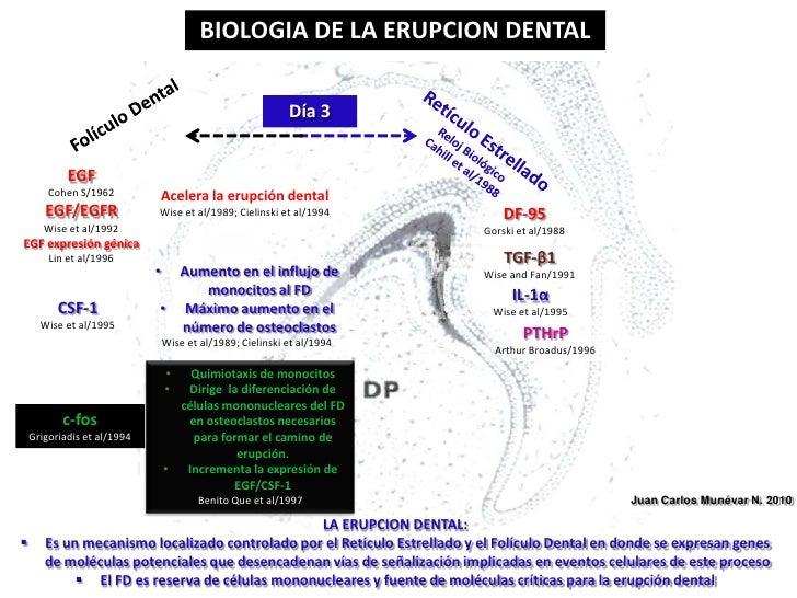 BIOLOGIA DE LA ERUPCION DENTAL<br />Día 3<br />Folículo Dental<br />Retículo Estrellado<br />Reloj Biológico<br />Cahill e...