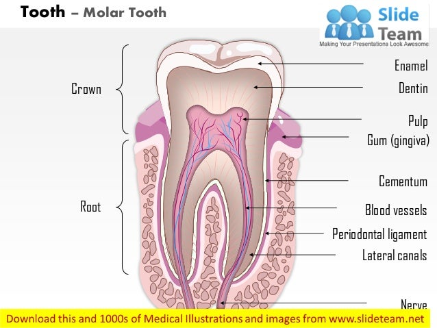 Tooth molar tooth medical images for power point tooth molar tooth crown root blood vessels periodontal ligament lateral canals nerve cementum gum tooth with labels ccuart Choice Image