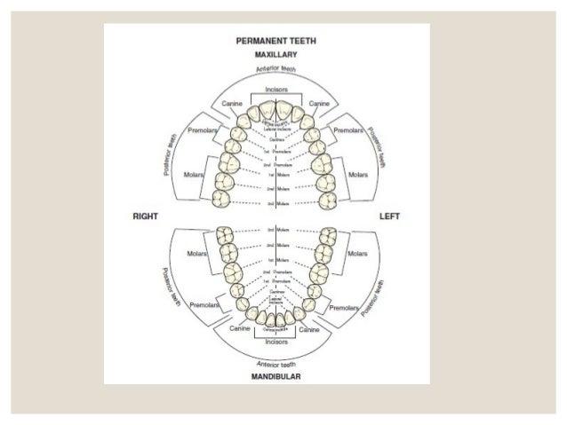 Diagram Of Tooth Number 3 Electrical Work Wiring Diagram