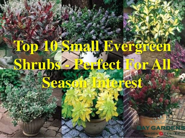 Top 10 Small Evergreen Shrubs Perfect For All Season Interest