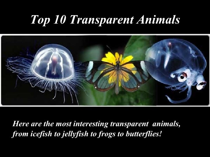 Top 10 Transparent Animals <ul><li>Here are the most interesting transparent   animals, </li></ul><ul><li>from icefish t o...