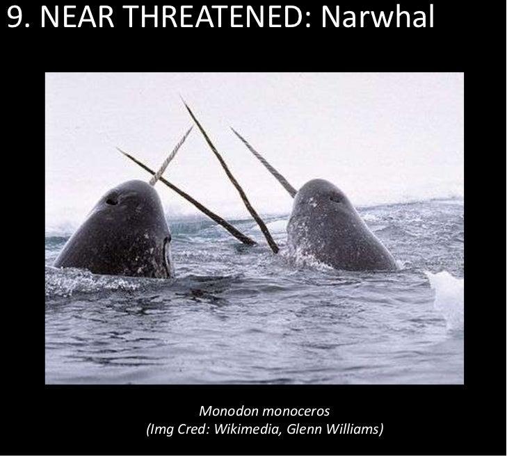 9. NEAR THREATENED: Narwhal                Monodon monoceros        (Img Cred: Wikimedia, Glenn Williams)