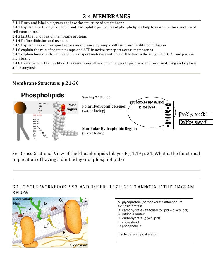 2.4 MEMBRANES 2.4.1 Draw and label a diagram to show the structure of a membrane 2.4.2 Explain how the hydrophobic and hyd...